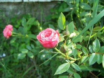 32 best images about mini roses on pinterest grow miniature and minis - Best compost for flower pots solutions within reach ...