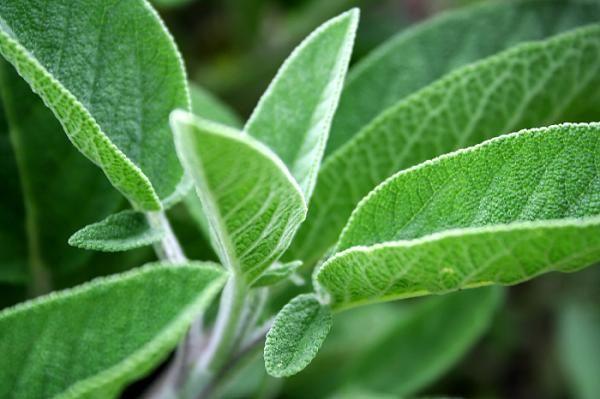 Cómo plantar salvia - 9 pasos - unComo