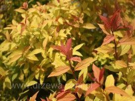 Tawuła japońska 'Goldflame' Spiraea japonica 'Goldflame' -  dorasta do wys.80 cm; mocno rozkrzewiona; liście dł. 7 cm, w pąku brązowopomarańczowe, później złotożółte, jesienią przebarwiają się purpurowo czerwony kolor; ma małe wymagania glebowe, stanowiska słoneczne lub półcieniste. Polecana: do nasadzeń pojedynczych i grupowych
