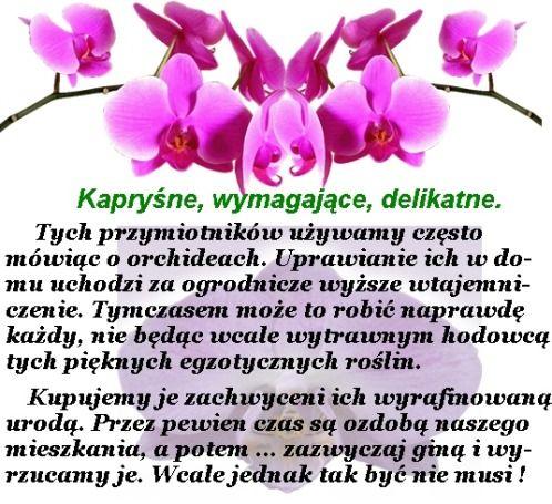 Babcia radzi coś...: Orchidea (storczyk)