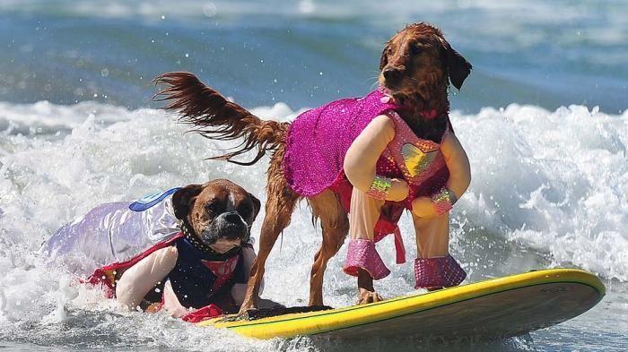 Surf City Surf Dog - Keren! Lihat Gaya Aksi Para Anjing Lucu Saat Selancar, Gemes