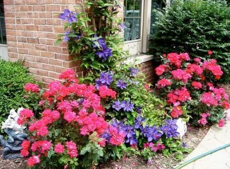 клематис в саду с розами фото