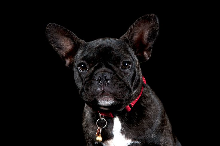 Rupert - French Bulldog © www.thebeingproject.co.za