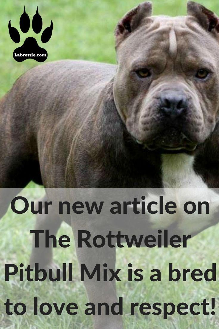 Pitbull Rottweiler Mix Pitweiler Rottweiler Mix Rottweiler