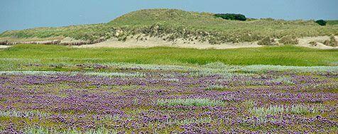 Slufter staat in de bloei (foto Sytske Dijksen)