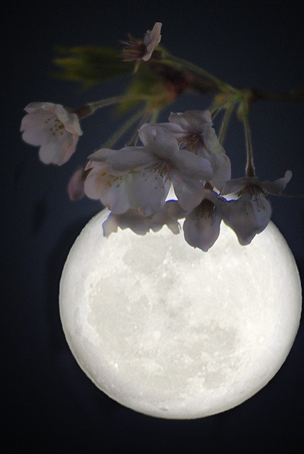 Cherry blossoms and moon.  Cherry blossom means impermanence / tomorrow is full moon, Saint Valentines Day 2014.