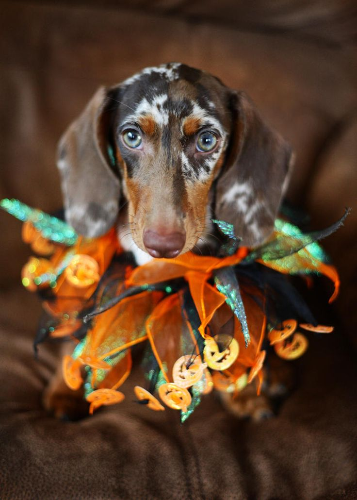Gorgeous chocolate dapple Halloween dachshund. Love the color on this pup.