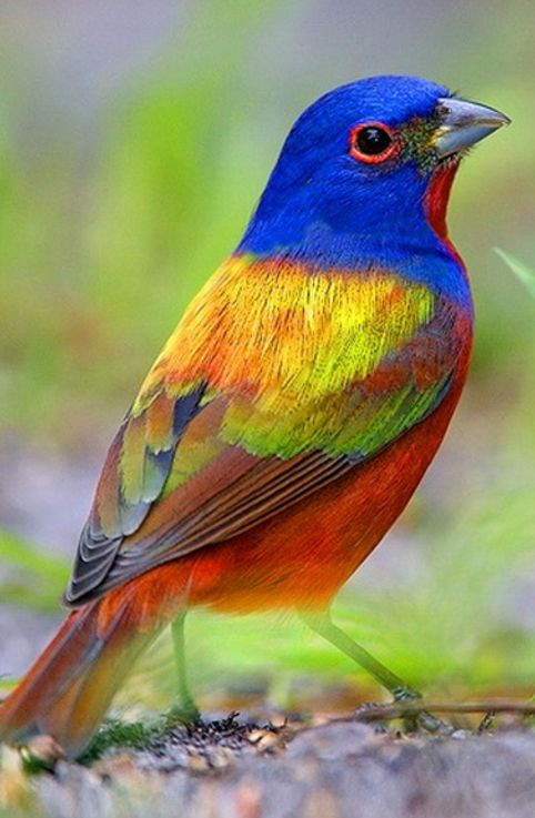 ༺♥༻ Painted Bunting, spectacular ༺♥༻ One of God's most beautiful.  A flying rainbow.