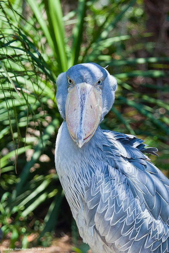 Shoe Billed Stork