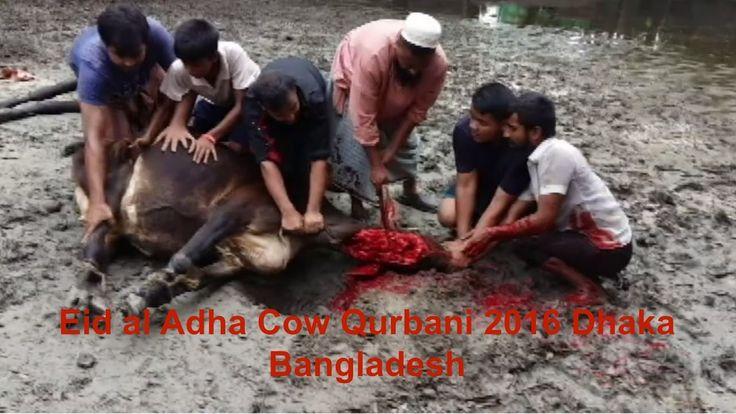 Eid al Adha Cow Qurbani 2016 Dhaka Bangladesh