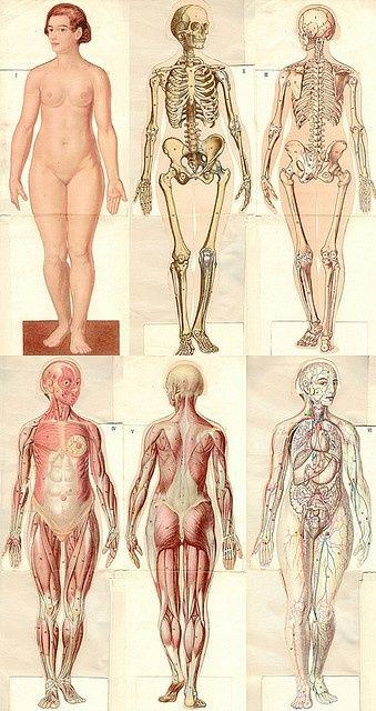vauxvintage:  Anatomie modèle femme (1937)