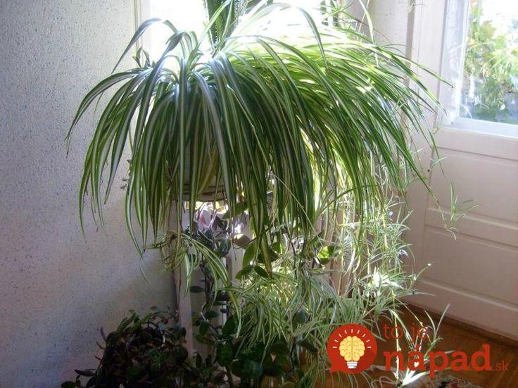 Chlorophytum comosum-zelenec chocholnaty - Máte doma túto rastlinku? Ak nie, mali by ste si ju čo najskôr zadovážiť, nebudete ľutovať!