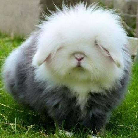 Old English Sheep Rabbit.