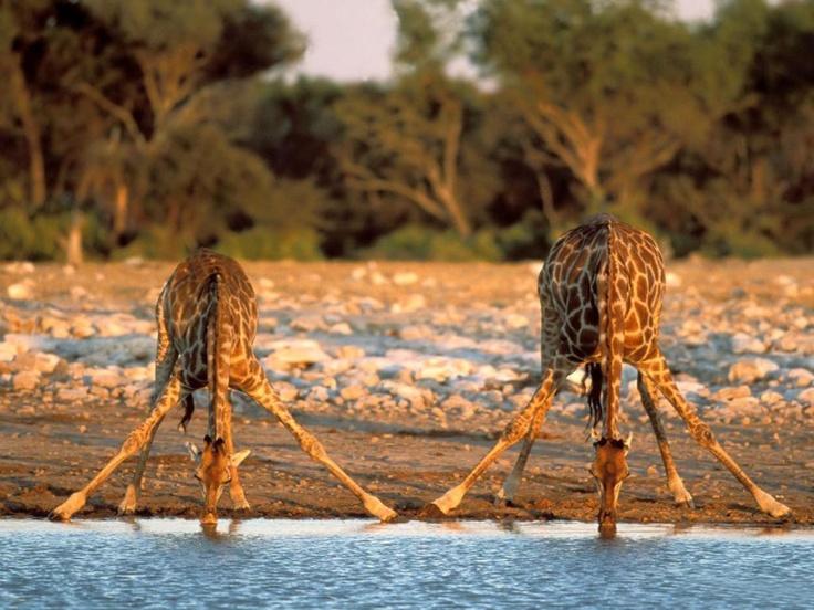 How giraffes drink water.. - Imgur