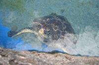 JSPuzzles - Play free Jigsaw puzzles online - Sea Turtle in the water