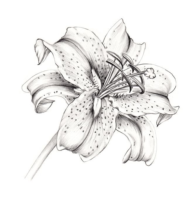 lily coloring pages | Stargazer Lily, graphite on paper, Marge Sjoden