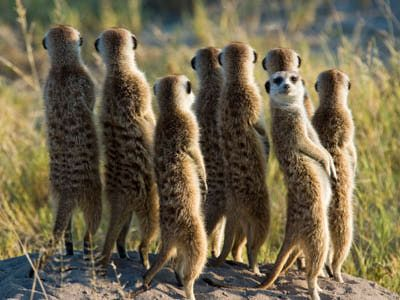 Meerkat Pictures: Meerkat Backward Glance