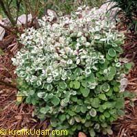 Breynia disticha, Breynia nivosa, Snow Bush, Hawaiian-Leaf Flower, Sweet Pea Bush, Calico Plant  Click to see full-size image