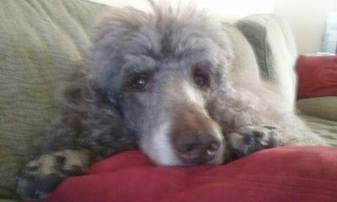 """Sleepy, brown, Standard Poodle, """"Dante"""" (Jovan's Gaucho Zapateo), owned by Carol P."""