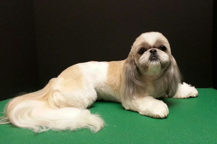 dog hair style 37 best shih tzu images on grooming styles 1534 | b9eb298b2ef768277f39854b304961e2 haircut short short hair