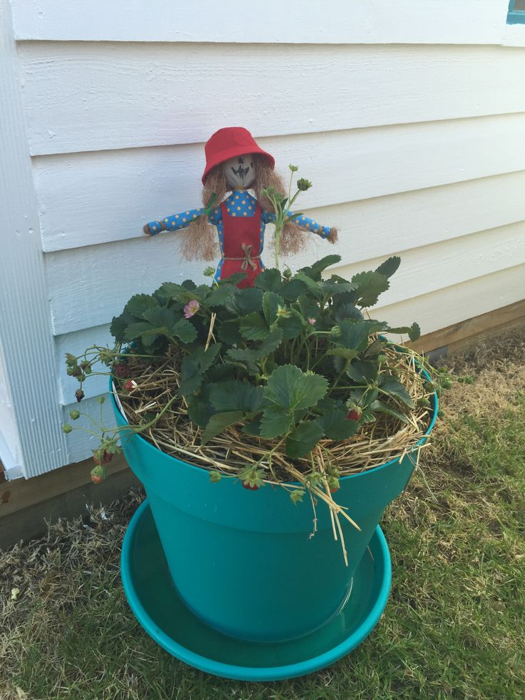 """""""Miss Berry Scary"""" Scarecrow with her strawberry plant!"""