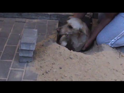 Una perra fue rescatada en Rusia al quedar enterrada viva bajo el pavimento de una vereda en Rusia,  ya que los albañiles que trabajaban no se habían percatado de su presencia.