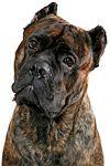 фотографии мастифа, фотографии собак породы кане корсо итальяно