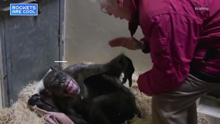 Mama, a dying chimp at Royal Burgers Zoo in the Netherlands, was refusing to eat until a longtime human friend reunited with her.