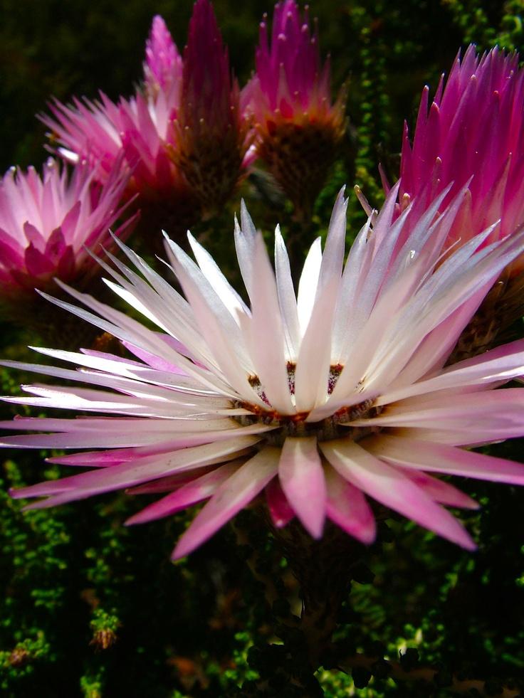 Pink Everlasting Phaenocoma prolifera
