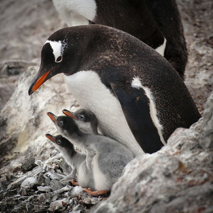 Triplets by JenFu Cheng, via 500px, A rare find of triplet Gentoo penguin chicks with their mom in Antarctica