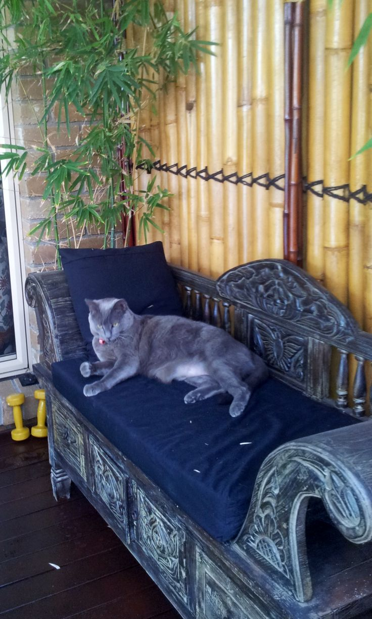 2014 Our Russian Blue on the Japanese garden chair