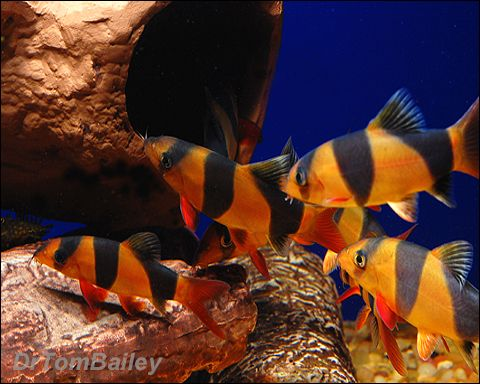 Clowns always do better in groups - they are very social together.( favorite freshwater fish)