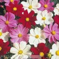 Krásenka zpeřená Sonata - rostlina Cosmos bipinnatus - prodej semen krásenky - 1 gr