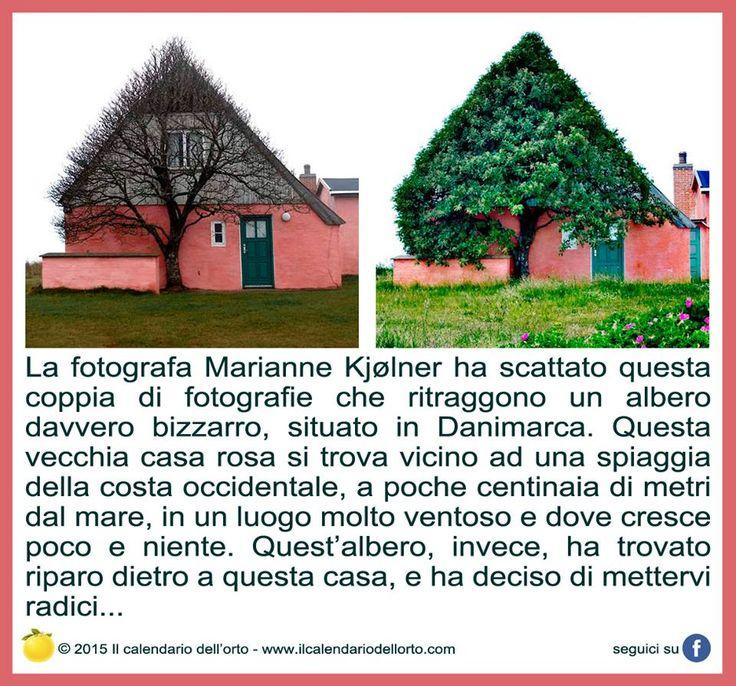 La fotografa Marianne Kjølner ha scattato questa coppia di fotografie che ritraggono un albero davvero bizzarro, situato in Danimarca. Questa vecchia casa rosa si trova vicino ad una spiaggia della costa occidentale, a poche centinaia di metri dal mare, in un luogo molto ventoso e dove cresce poco e niente. Quest'albero, invece, ha trovato riparo dietro a questa casa, e ha deciso di mettervi radici...