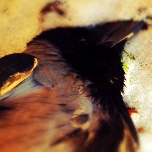 Sun kisses death crow photo #12 2014 #project365 | Flickr - Photo Sharing!