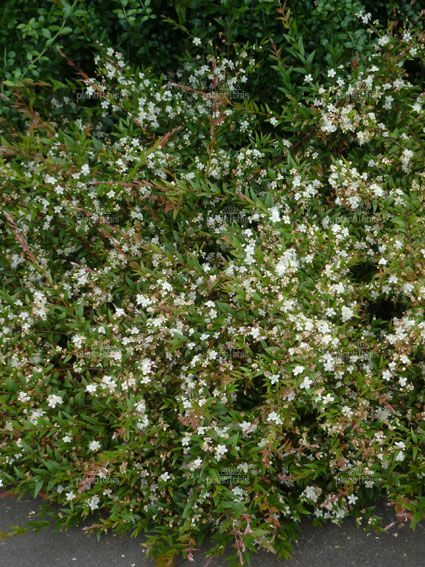 Austromyrtus dulcis midgenberry native garden for Garden plant information