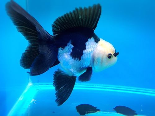 The 25 best oranda goldfish ideas on pinterest pretty for Carpe koi aquarium 300 litres