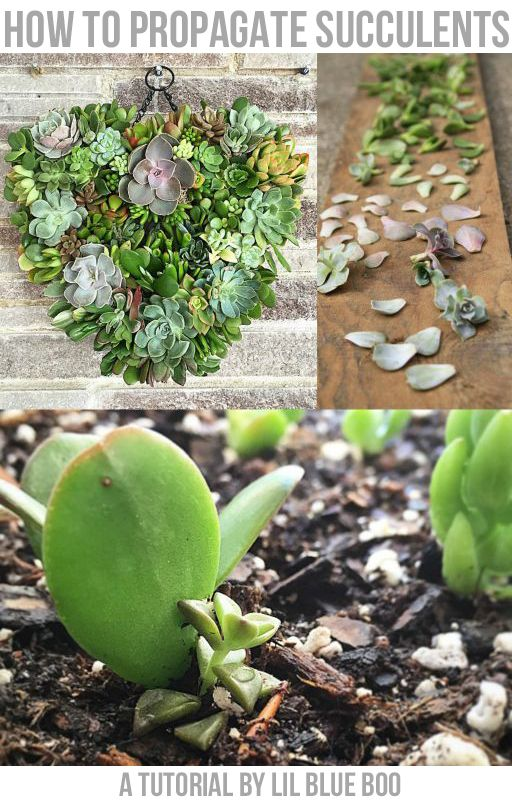 How to propagate succulents: how to use leaf cuttings to grow new succulents.