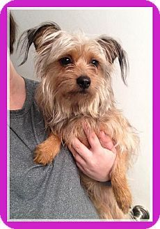 yorkie mixed puppies for sale mn 17 best ideas about yorkie shih tzu mix on pinterest 4705