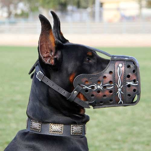 doberman with unique collar | ... Muzzle] : Doberman dog harness, Doberman dog muzzle, Doberman dog