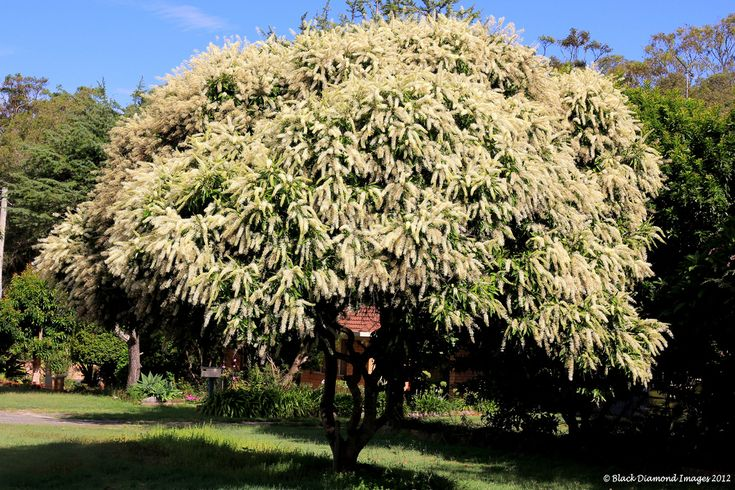 ivory curl tree - Google Search