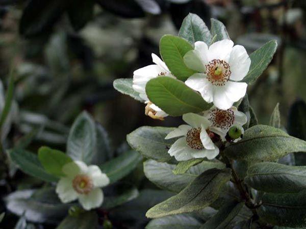 Eucryphia cordifolia | Trees | Patagonia Plants