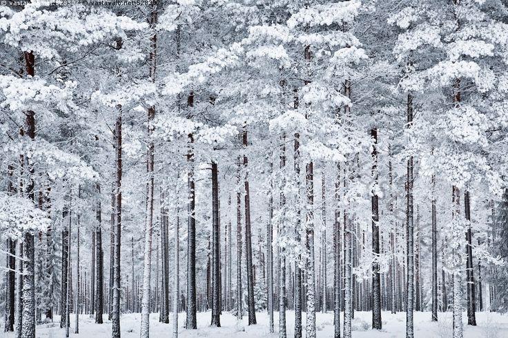 Talvinen männikkö - mänty metsä mäntymetsä männikkö puu puut runko rungot männynrunko männynrungot suomalainen suomalaisuus hyvinhoidettu talousmetsä metsämaisema talvimaisema lumi lunta kuura kuurassa huurre huurteessa pakkanen kylmä tammikuu