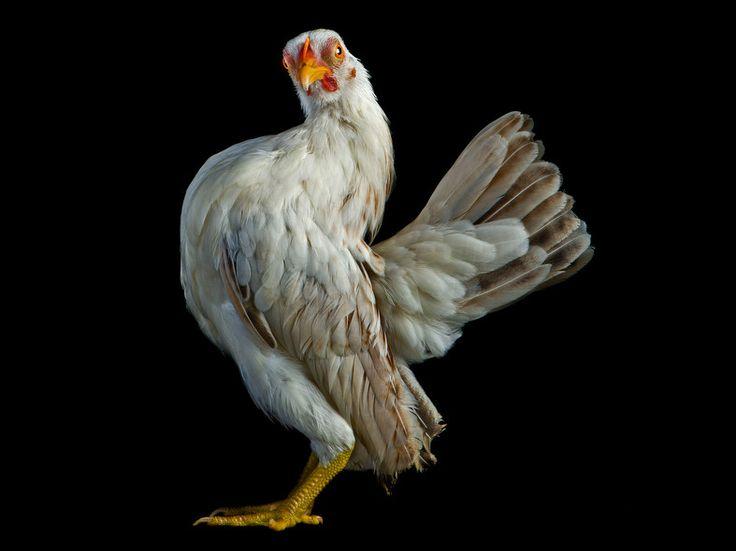 A Serama cockerel.