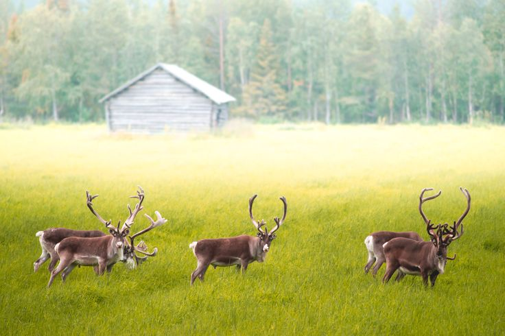, . Ihana poroseurue kesäillan retkellä. #Rovaniemi #reindeer Kuva @kpunkka #konstapunkka Konsta Punkka Finland