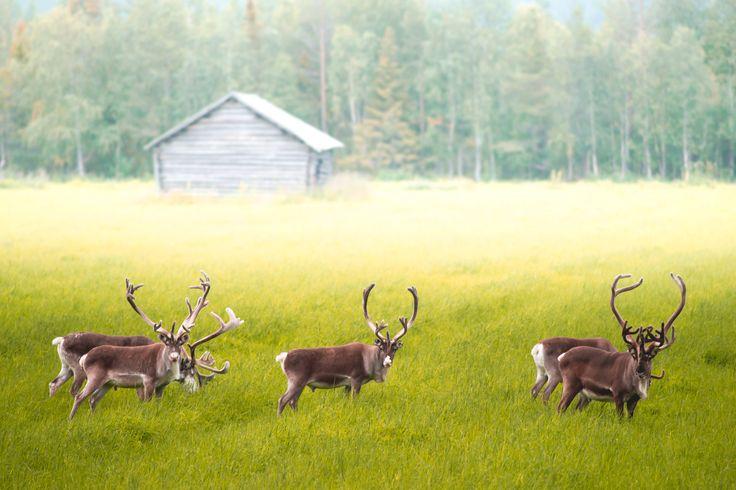 Lapissa on joulu aina, jos se on poroista kiinni. Ihana poroseurue kesäillan retkellä. In Lapland there is always Christmas. #sokoshotelsroadtrip #Lapland #Rovaniemi #reindeer #Christmas Kuva @kpunkka #konstapunkka