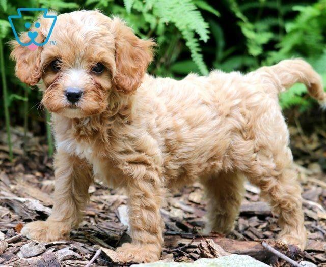 Flower Cavapoo Puppies Puppies Cavapoo Puppies For Sale