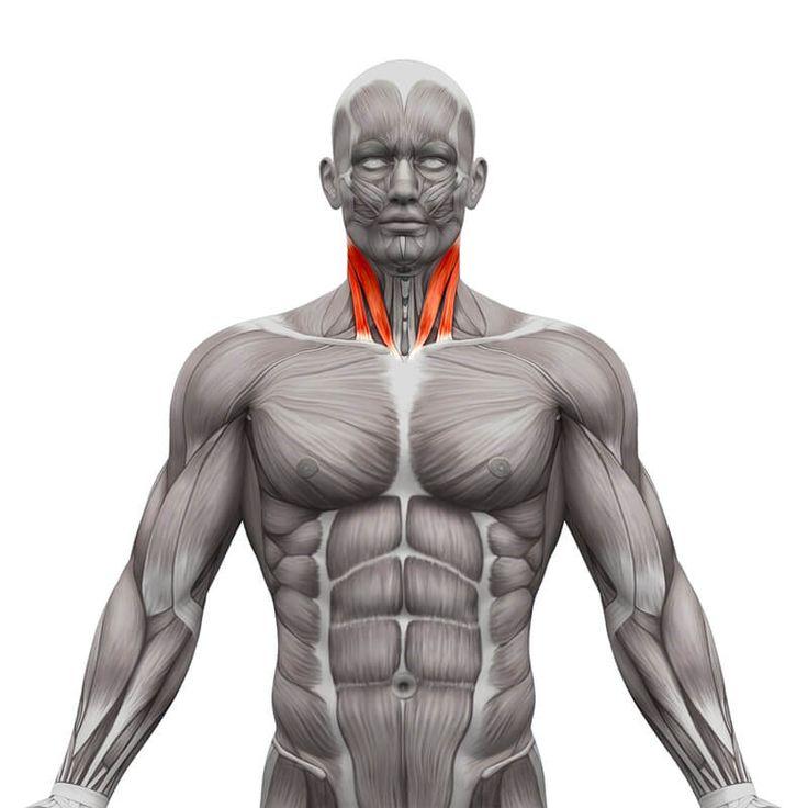 Sternocleidomastoid muscle - SCM Muscle