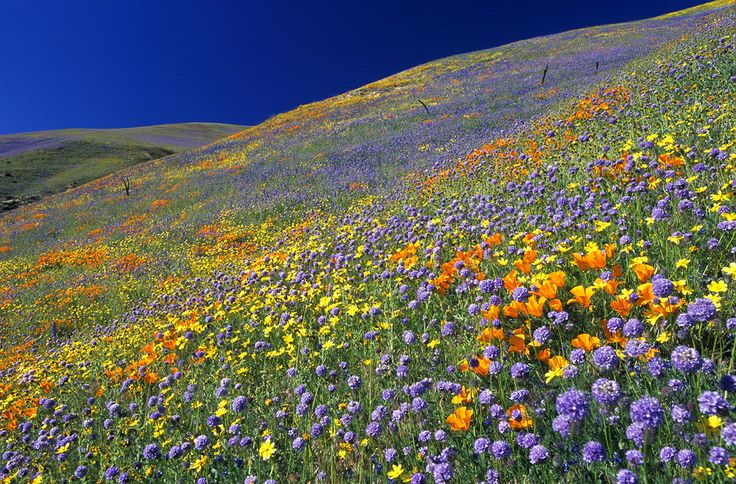 Galleries California Wildflowers Gorman Hills Mixed