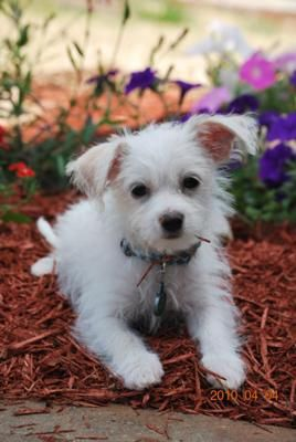 Cooper is a 3 month old Malchi puppy and is a wonderful addition to our family! We got him from a shelter 3 weeks ago. He is extremely smart, very active,
